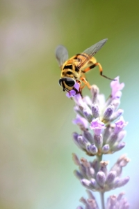 Bee on Lavender Courtesy of Denis Spycher/National Geographic
