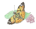 The Painted Lady, Vanessa cardui